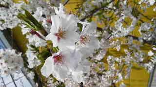 桜葉。。。